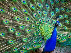 41857717 - a beautiful male peacock with expanded feathers
